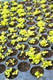 婴孩莴苣被种植的罐 库存照片