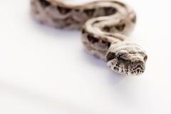 婴孩蟒蛇关闭constictor 库存照片