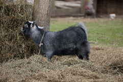 婴孩逗人喜爱的吃山羊干草少许 免版税库存图片