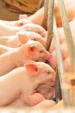 婴孩逗人喜爱的小猪