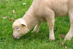 婴孩逗人喜爱的小的绵羊 库存照片