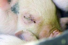 婴孩逗人喜爱的模糊的月大一个小猪 免版税库存照片