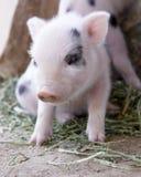 婴孩逗人喜爱的模糊的老一个小猪星期 库存照片
