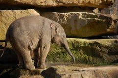 婴孩逗人喜爱的饮用的大象 库存图片