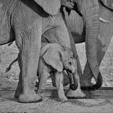 婴孩非洲大象12 库存照片