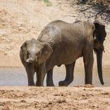 婴孩非洲大象14 免版税库存图片