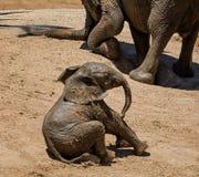 婴孩非洲大象16 免版税库存图片