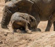 婴孩非洲大象30 图库摄影