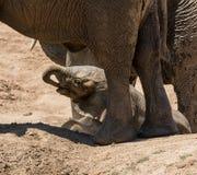 婴孩非洲大象34 库存图片