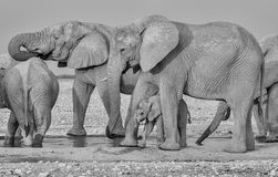婴孩非洲大象36 库存图片