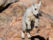 婴孩飞跃在岩石的石山羊孩子 库存照片