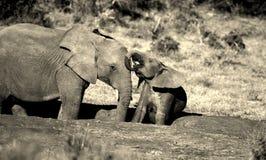 婴孩饮用的大象开会 免版税库存照片
