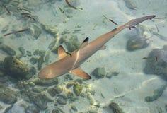 婴孩鲨鱼 免版税库存图片