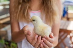 婴孩鸡在女孩手上 库存照片
