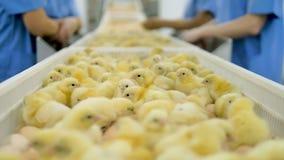 婴孩鸡,在家禽场,禽畜传动机的许多逗人喜爱的小鸡 4K 股票视频