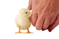 婴孩鸡 免版税图库摄影