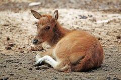 婴孩鹿elaphus 免版税图库摄影