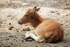 婴孩鹿elaphus 库存图片