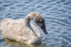 婴孩黑天鹅小天鹅游泳在池塘,在特写镜头的图象与行动,在悉尼公园,澳大利亚 库存照片