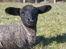 婴孩黑面的羊羔 免版税图库摄影