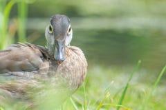 婴孩/在草找到的少年林鸳鸯在明尼苏达河的洪泛区水附近 库存照片