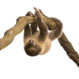 婴孩choloepus didactylus怠惰用了脚尖踢二 免版税库存照片