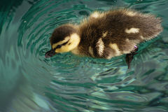 婴孩duck1 免版税库存图片
