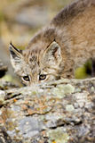 婴孩lynxx 免版税库存照片