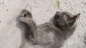 嫉妒俄国猫在沙子说谎 影视素材