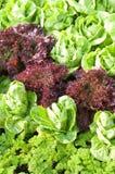 嫩卷心菜和红色散叶莴苣和荷兰芹 库存照片