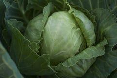 嫩卷心菜在庭院里增长 收获 库存照片