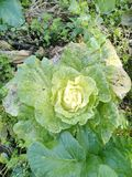 嫩卷心菜在菜园里 免版税库存图片
