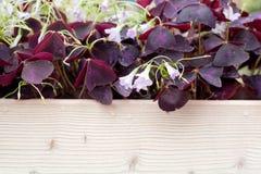 嫩小的桃红色和绿色淡紫色叶子和花背景纹理关闭宏观登山人,gillyflowers,牵牛花 免版税库存图片