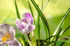 嫩春天开花在绿色背景的snowdrop 免版税库存图片