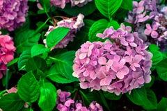 嫩桃红色八仙花属花 免版税图库摄影