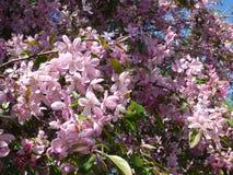 嫩桃红色开花的樱桃树 免版税库存图片