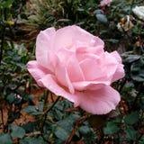 嫩桃红色玫瑰 免版税库存照片