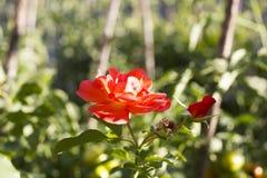 嫩桔子上升了与芽在庭院里增长 免版税库存图片
