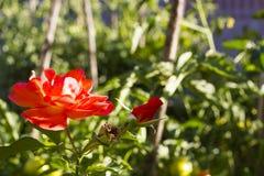 嫩桔子上升了与芽在庭院,选择聚焦里增长 库存照片