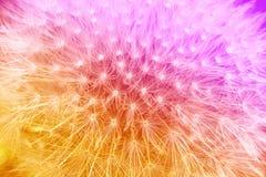 嫩橙色和紫罗兰色梯度有蒲公英花背景 库存照片
