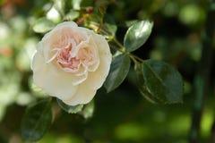 嫩白色和桃红色玫瑰在夏天庭院里 免版税库存图片