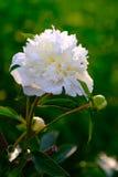 嫩白色庭院花 免版税库存照片