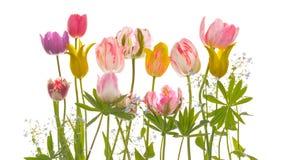 嫩郁金香花和叶子 免版税库存图片