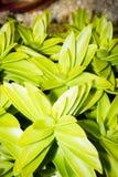 嫩绿的多汁植物 免版税库存图片