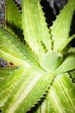 嫩绿的多汁植物 库存图片
