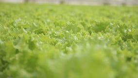 嫩绿的沙拉在水栽法的玻璃温室增长户内 股票录像