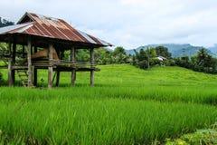 嫩绿的米领域 免版税库存图片