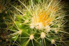 嫩绿的仙人掌 库存照片