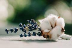 嫩lavander和棉花在钮扣眼上插的花投入了 免版税库存照片