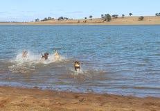 嬉戏在水中的大友好的狗的后端 免版税库存图片